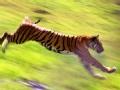 危险接触:猛虎下山偷食山村牲畜