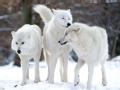复活的北极狼