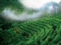 种在云中的咖啡