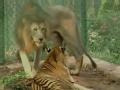 揭秘狮虎兽