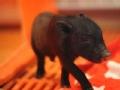 供体猪来了 中南大学器官移植新物种