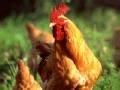 《大鹏脱口唱》:都是做鸡惹的祸