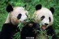 熊猫 熊猫
