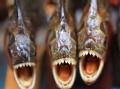 眭澔平禁地解码 拜访亚马逊食人鱼