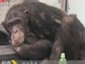 不一样的传奇 猩猩戒烟记