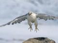 海东青 愤怒的大鸟