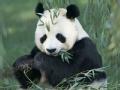 她就是将大熊猫盗捕出中国的美国女人