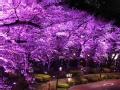 行者影像节入围作品展播 樱花的颜色