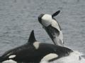 美国虎鲸杀人血案实录
