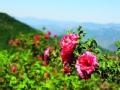 妙峰山玫瑰谷 舌尖上的浪漫