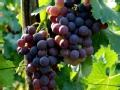 地图里的葡萄传奇