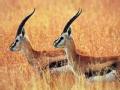 生命的约定 缘起藏羚羊