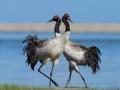 中国珍稀物种 黑颈鹤