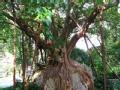 寻奇天下 会行走的古树