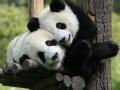 熊猫的8个秘密