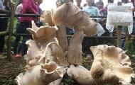 云南现高近1米重100斤蘑菇
