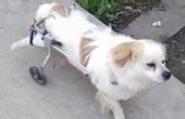 小狗车祸瘫痪用轮椅当脚