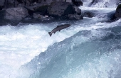 北美鲑鱼惨烈的产卵史