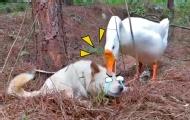 霸道大鵝給狗子做頭皮按摩