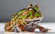 你見過這么激萌的角蛙嗎