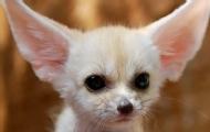 耳狐的耳朵为什么那么大